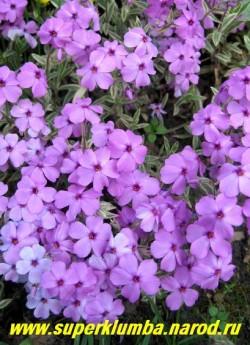 """ФЛОКС ПРЕЛЕСТНЫЙ """"Вариегата"""" (Phlox amoena """"Variegata)  сиреневые цветки диаметром около 2 см, пестролистный,   образует вечнозеленые дернинки толщиной 5-10см, цветет май-июнь, высота с цветоносами 10-15 см, ЦЕНА 300 руб  (1 дел)  НЕТ НА ВЕСНУ."""