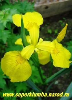 ИРИС  АИРОВИДНЫЙ (Iris pseudacorus)  желтый, изящный и неприхотливый, идеально подходит для водоемов и сырых мест , высота до 1м, цветет в июне желтыми цветами с коричневым рисунком у основания лепестков, ЦЕНА 150 руб ( 1 дел)