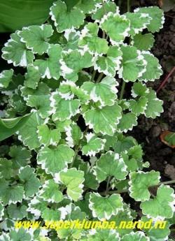 """БУДРА ПЛЮЩЕВИДНАЯ """"Вариегата"""" (Glechoma hederacea """"Variegata"""") . Растение с длинными укореняющимися в узлах лежачими побегами и прямостоячими цветущими стеблями до 15 см высотой. Лист округло-зубчатый с белой окантовкой, цветет в мае-июне фиолетово-голубоватыми цветами. Может с успехом выращиваться в подвесных кашпо как ампельная, длина стеблей до 1м, ЦЕНА 150-200 руб (1 дел)"""