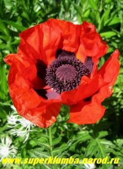 """МАК ПРИЦВЕТНИКОВЫЙ """"Красный"""" (Papaver bracteatum). Цветы пунцово-красные с блестящими лепестками , диаметром до 20 см, с большими черными пятнами у основания лепестков , цветоносы прочные , цветок, в отличие от других маков , держится до 3 дней, цветет в июне 20-25 дней. ЦЕНА 200 руб (1 шт)"""