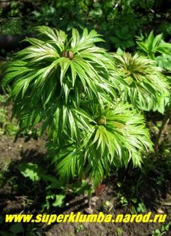 ПИОН УКЛОНЯЮЩИЙСЯ или МАРЬИН КОРЕНЬ (Paeonia anomala)  видовой пион, цветок красно-пурпуровый простой, диаметр 10-18 см, высота. куста до 60 см, листья дваждытройчатые, осенью краснеют, Декоративен весь сезон. Раннего срока цветения. НЕТ  В ПРОДАЖЕ
