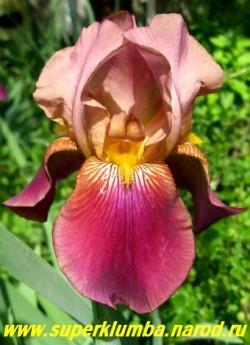 Ирис ДЕПУТАТ НОМБЛО (Iris Depute Nomblot)  розово-коричневые верхние лепестки сочетаются с бордовыми нижними, бородка золотая ; крупный, среднего срока цветения, высота до 120 см, ЦЕНА 100 руб(1 шт)  или 200 руб (кустик из 2-3 шт)