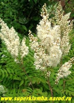 РЯБИННИК РЯБИНОЛИСТНЫЙ (Sorbaria sorbifolia)  Листья крупные, до 25 см длиной, формой напоминают рябиновые. При распускании листья розовые, позже светло-зеленые, осенью желтые или красные. Белые цветы собраны в пирамидальные метелки до 30 см длиной. высота до 2 м, цв. июнь-июль, ЦЕНА 250-350 руб ( 3-5 летки)