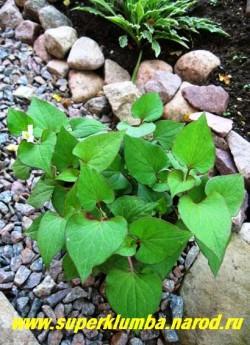 ХАУТТЮЙНИЯ СЕРДЦЕВИДНАЯ (Houttuynia cordata)  зеленый с малиновым кантом лист, неприхотливый почвопокровник, разрастается ковром , высота 10-20 см, предпочитает влажные почвы и светлое место, но с успехом растет и в иных.  ЦЕНА 150 руб (2 шт)