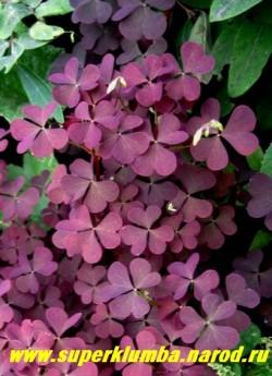 КИСЛИЦА РОЖКОВАЯ (Oxalis соrniculata)  листва крупным планом. ЦЕНА 100 руб (3- шт)