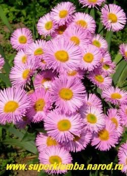 """МЕЛКОЛЕПЕСТНИК ГИБРИДНЫЙ """"Роза Триумф"""" (Erigeron х hybridus """"Rosa Triumph"""")  полумахровые розовые ромашки диаметром 4- 5см, высота до 70 см, цветет июнь-июль, ЦЕНА 250 руб (делёнка)"""