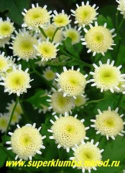 """ПИРЕТРУМ ДЕВИЧИЙ """"Игольчатая"""" (Matricaria eximia)  Соцветия лимонно-белые округлые, имеют юбочку из белых коротких, игольчатых язычковых цветков, высота 60см, цветет июль-август, в Подмосковье выращивается как 2- летник, но легко возобновляется самосевом,  ЦЕНА 200 руб (1шт) НЕТ НА ВЕСНУ"""