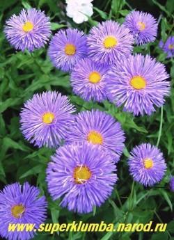 """МЕЛКОЛЕПЕСТНИК ГИБРИДНЫЙ """"Доминатор"""" (Erigeron х hybridus """"Dominator"""")  полумахровые темносиние цветы диаметром 4-5см , высота до 70 см, цветет июнь-июль, ЦЕНА 200 руб (делёнка)"""