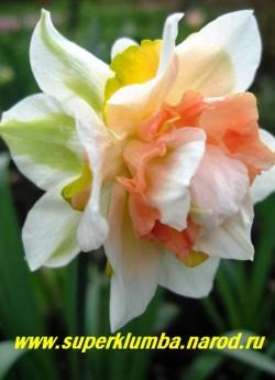"""Нарцисс """"РЕПЛИТ"""" (Narcissus """"Replete"""") махровый, Доли махрового околоцветника округлые, кремово-белые, в центре перемежаются с долями махровой темно-розовой коронки, которая иногда имеет оранжевые и зеленые оттенки. Средне-ранний. Универсальный. Диаметр 10 см, высота 45 см, НЕТ  В ПРОДАЖЕ"""