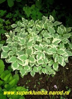 """СНЫТЬ ОБЫКНОВЕННАЯ """"ВАРИЕГАТА"""" (Aegopodium podagraria """"variegata"""") пестролистная, бело -голубая листва, неприхотлива, может расти в неугодье, желательно сажать в ограничивающую емкость, например в большое ведро, высота 15-20 см, ЦЕНА 150 рублей."""