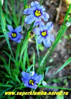 СИСЮРИНХИЙ УЗКОЛИСТНЫЙ (Sisyrinchium angustifolium)  миниатюрный родственник ирисов, невысокий кустик со злаковидными листьями высотой 10-12см , синие звездчатые цветы появляются в июне, высота 10-15 см, ЦЕНА 150 руб (кустик)