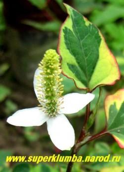 """Цветы ХАУТТЮЙНИИ СЕРДЦЕВИДНОЙ """"Хамелеон"""" (Houttuynia cordata ''Chameleon'') немного экзотичны и достаточно нарядны , а разноцветные листья съедобны, их можно есть сырыми или готовить как шпинат ЦЕНА 200 руб (3 шт)"""