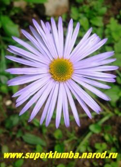 АСТРА ГОЛУБОВАТАЯ (Aster tongolensis) сиренево-голубяе с ярко-желтой серединкой одиночные крупные цветы , диаметром 6-7 см , на длинных цветоносах, Высота 40-60 см , хорошо стоит в срезке, цветет в июле. ЦЕНА 150 руб