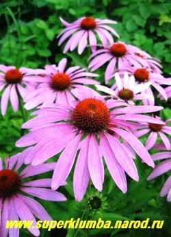 ЭХИНАЦЕЯ ПУРПУРНАЯ (Echinacea purpurea) лекарственное растение, свежий сок из листьев и стеблей эхинацеи повышает иммунитет, крупные пурпурно-розовые с высокой коричнево-золотистой шишковидной серединкой цветы до 13 см в диаметре, высота до 1 м, цветет июль -август. ЦЕНА 200 руб