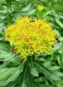 """соцветие РОДИОЛЫ РОЗОВОЙ (Rhodiola rosea) , настойка корневищ используется в качестве тонизирующего средства и как адаптоген , ее называют еще """"Тибетским жень-шенем"""". Свежеразломленного корневища имеет запах розы. ЦЕНА 250 руб (1 дел)  НЕТ НА ВЕСНУ"""