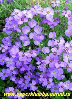 """ОБРИЕТА КУЛЬТУРНАЯ """"сиреневая"""" (Aubrieta х cultorum)  яркий ковер из малиновых цветов на стелющихся стеблях, листья серо-зеленые зимующие, предпочитает яркое солнце, высота 10-12 см, цветет май-июнь, ЦЕНА 150-200 руб (1 дел)"""