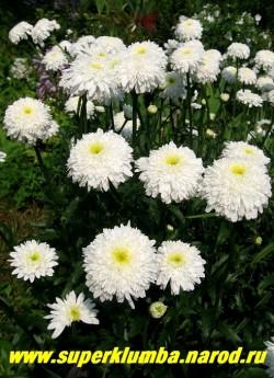 """Нивяник  """"ФИОНА КОГХИЛЛ"""" (Leucanthemum """"Fiona Coghill"""") цветущий куст. ЦЕНА 250 руб (делёнка)"""
