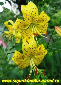 """Лилия тигровая """"ЦИТРОНЕЛЛА""""(Lilium tigrinum Citronella)  желтая с коричневым крапом чалмовидная, цветы сморят вниз , на одном соцветии 15 -25 цветов, цветет июль-август, высота до 130 см, НЕТ В ПРОДАЖЕ."""