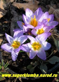 """КРОКУС ЗИБЕРА """"Триколор"""" (Crocus sieberi ''Tricolor'') аметистовые цветки с желтой серединкой изнутри окрашены немного светлее, чем снаружи. цветет апрель-май.  ЦЕНА 50 руб (1 шт)"""