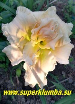 Лилейник ПЕГГИ ДЖЕФКОАТ (Hemerocallis Peggy Jeffcoat) нежные перламутровые светло кремово-розовые махровые цветы с зеленоватым горлом,  фактура лепестков плотная, края гофрированные. Диаметр цветка 14см. Высота 50 см Среднепоздний.  НОВИНКА! ЦЕНА 500 руб НЕТ НА ВЕСНУ.