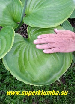Хоста УФО (Hosta UFO) размер G. Супер гигант с огромными круглыми, слегка чашевидными глянцевыми зелеными листьями с кремово-желтой каймой. Цветы лавандовые.  Высота 100-120см. Впечатляет! НОВИНКА! ЦЕНА 800руб