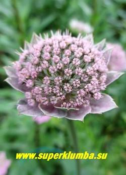 АСТРАНЦИЯ ТРЕХНАДРЕЗАННАЯ (Astrantia trifida)  редкая в коллекциях астранция с трехраздельными листьями на длинных черешках и и многочисленными, розовыми соцветиями 3-3,5 см в диаметре. Высота 30-50 см. Цветет в июле - августе. НОВИНКА! ЦЕНА 150 руб