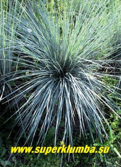"""ОВСЕЦ ВЕЧНОЗЕЛЕНЫЙ """"Сапфирспрудель"""" (Helictotrichon sempervirens """"Saphirsprudel"""") высокодекоративный сорт овсеца,  с узкими интенсивно голубыми листьями.  Образует великолепный фонтан из блестящих серебристых колосков, высота 30-50 см,  ЦЕНА 250 руб"""