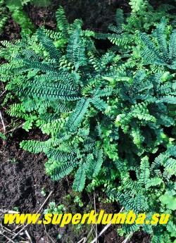 """АДИАНТУМ СТОПОВИДНЫЙ """"Имбрикатум"""" (Adiantum pedatum """"Imbricatum"""") Очень красивое растение для теневого сада. Не агрессивен, зимостоек, влаголюбив, но не любит застоя влаги. НОВИНКА! ЦЕНА 500 руб."""