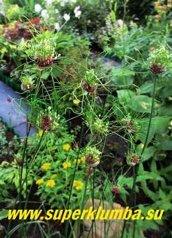 """ЛУК ГИБРИДНЫЙ """"Хэер"""" (Allium vineale ''Hair''). декоративный, уникальные """"волосатые"""" соцветия , хорош для оформления цветников и срезки, обладает приятным ароматом, цветет июнь-июль, высота до 60 см, ЦЕНА 250 руб ( 5 лук )"""