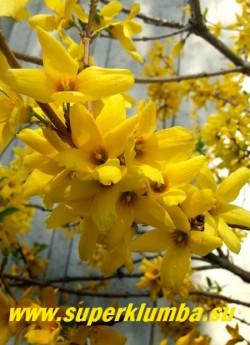 ФОРЗИЦИЯ  (Forsythia)   цветы крупным планом.  НОВИНКА!  ЦЕНА 350 руб  (3-х летки)