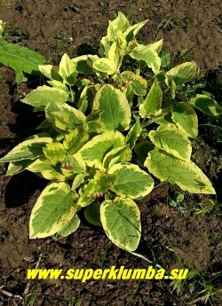 """ОКОПНИК КРУПНОЦВЕТКОВЫЙ """"Голдсмит"""" (Symphytum grandiflorum ''Goldsmith)  невысокие кустики, медленно разрастающиеся ковром вширь, с нарядной опушенной зеленой с кремово-желтым краем листвой, цветет в мае-июле цветами изменяющими свой цвет. Предпочитает полутень. Высота 15-20 см. НОВИНКА! ЦЕНА 300 руб НЕТ  НА ВЕСНУ"""