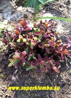 """МОЛОЧАЙ МНОГОЦВЕТНЫЙ """"Бонфайер"""" (Euphorbia polychroma """"Bonfire"""") на фото окраска листвы весной. Тона в окраске изменяются в течении вегетационного сезона. НОВИНКА! ЦЕНА 350 руб"""