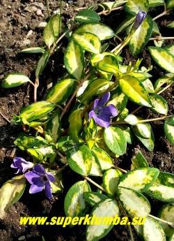 БАРВИНОК МАЛЫЙ «Иллюминейшн» (Vinca minor «Illumination») фото цветущего растения. Цветы темнее чем у других сортов. НОВИНКА ! НЕТ В ПРОДАЖЕ