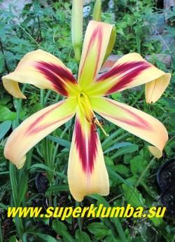 Лилейник ФРИ УИЛИН (Hemerocallis Free Wheelin) Лилейник-спайдер. Огромный до 22 см в диаметре цветок с длинными узкими лепестками с закрученными назад краями кремово-желтого оттенка. Горло цветка большое  изумрудно-зеленое, вокруг него винно-красный глаз в форме звездочки.  НОВИНКА!  НЕТ НА ВЕСНУ. ЦЕНА 500 руб (1 шт)