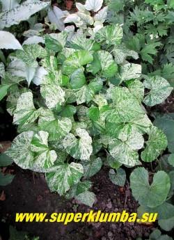 """ФИАЛКА МОТЫЛЬКОВАЯ """"Фреклес  Бинстед"""" (Viola papilionacea """"Freckles Binsted"""")  редко встречающийся в коллекциях многолетний  сорт, с очень красивой интенсивно вариегатной листвой. Цветет темно-синими цветами в мае. Высота 10-15 см. НОВИНКА! ЦЕНА 350 руб (1 дел)"""