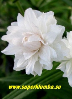 """ГЕРАНЬ ЛУГОВАЯ """"Дабл Джевел""""(Geranium pratense ''Double Jewel'')  цветок крупным планом. ЦЕНА 300 руб (1 шт)"""