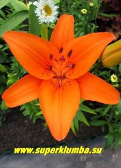 Лилия ТРЕЗОР (Lilium  Tresor) цветок крупным планом. ЦЕНА 200 руб (1 шт)