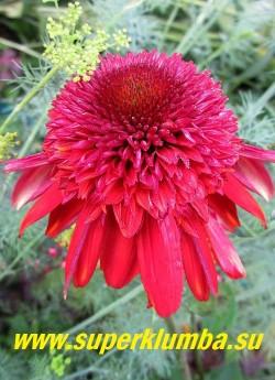 """Эхинацея """"ЭКСЦЕНТРИК"""" (Echinacea """"Eccentric"""") Цветы при открытии имеют насыщенный красный цвет с оттенками фиолетового, постепенно переходя в огненно-оранжевые и алые тона.  НЕТ В ПРОДАЖЕ"""