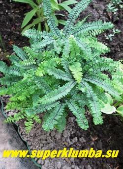 """АДИАНТУМ СТОПОВИДНЫЙ """"Имбрикатум"""" (Adiantum pedatum """"Imbricatum"""") компактная разновидность высотой до 15 см, с голубовато-зелеными перисто-сложными листьями, НОВИНКА! ЦЕНА 500 руб."""
