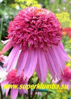 "Эхинацея пурпурная ""РАЗЗМАТАЦЦ"" (Echinacea purpurea ""Razzmatazz"") цветок крупным планом.  ЦЕНА 300 руб (делёнка)"