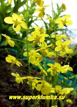 """ГОРЯНКА ПЕРАЛЬХИКУМ """"Фронлейтен"""" (Epimedium x perralchicum """"Frohnleiten"""") цветы крупным планом. Ярко-желтые  нежные цветы собраны в длинные соцветия высотой 30-40см. Цветет с мая по июнь. Листва   образует очень плотный декоративный зеленый покров. ЦЕНА 200-300 руб (1 деленка )"""