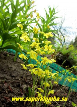 """ГОРЯНКА ПЕРАЛЬХИКУМ """"Фронлейтен"""" (Epimedium x perralchicum """"Frohnleiten"""") гибридная горянка с ярко-желтыми   цветами и красивыми сердцевидными вечнозелеными листьями, в молодом возрасте кирпично-красными с зелеными   прожилками. Высота 30-40 см. НОВИНКА!  ЦЕНА 250 руб (1 деленка )"""