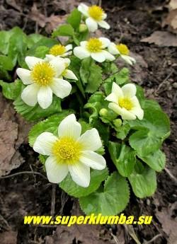 """КАЛУЖНИЦА БОЛОТНАЯ """"Альба"""" (Сaltha palustris f.alba) садовая форма калужницы с крупными белыми цветами до 5 см в диаметре , цветет с апреля -май, высота 10-15см. ЦЕНА 300 руб (делёнка)"""