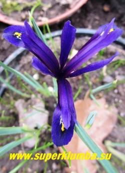 """ИРИС ХИСТРИОВИДНЫЙ """"ВАЙОЛЕТ БЬЮТИ"""" (Iris hystrioides """"Violet Beauty"""") Луковичный ирис. Ирис с изящными крупными, до 7 см в поперечнике, темнофиолетовыми цветами, с продольной темно-фиолетовой полосой и желтым пятном на беловатом фоне, испещренном фиолетовыми штрихами. Высота 7-15 см. Цветет апрель-май. НОВИНКА!  ЦЕНА 120 руб (3 лук)"""
