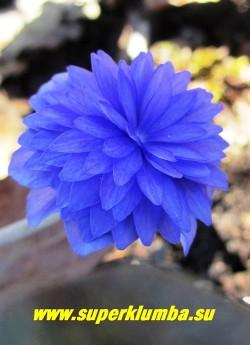 """цветок крупным планом ПЕЧЕНОЧНИЦЫ БЛАГОРОДНОЙ """"ЦЕРУЛЕА ПЛЕНА"""" (Hepatica nobilis f. Coerulea Plenа) НОВИНКА! ЦЕНА 2000 руб (1 шт)"""