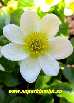 """КАЛУЖНИЦА БОЛОТНАЯ """"Альба"""" (Сaltha palustris f.alba) цветок крупным планом. ЦЕНА 300 руб (делёнка)"""