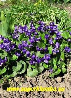 """ФИАЛКА ДУШИСТАЯ """"Шарлотт"""" (Viola odorata ''Charlotte'') Многолетняя. старейшая садовая культура, обладает чудесным ароматом  темно-фиолетовых цветов,  предпочитает полутень, высота 5-10 см, цветет в  апреле-мае, ЦЕНА  100-150 руб (1 дел)"""
