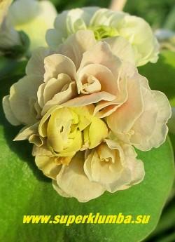 """Примула ушковая махровая """"НИМФ"""" (Рrimula auricula Nymph)  Кремо-сиреневые очень крупные сильномахровые цветы. НОВИНКА! НЕТ В ПРОДАЖЕ."""
