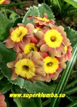 """Примула ушковая """"ХАМЕЛЕОН-1"""" (Primula аuricula) кораллово-розовый цвет  в начале роспуска меняется на бежево-кремовый  с желтой серединкой,  листва  с белым  мучнистым напылением и зубчатым краем.  высота до 15 см, цветет май-июнь. НОВИНКА! ЦЕНА 280 руб  (штука)"""