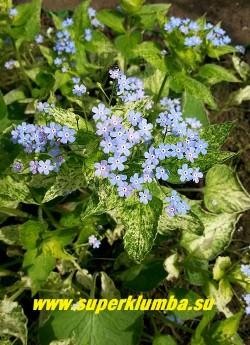 """БРУННЕРА КРУПНОЛИСТНАЯ """"Спринг еллоу"""" (Вrunnera macrophylla """"Spring yellow"""")  Форма взрослого листа у этого сорта очень характерная- крупная , сердцевидная с ложковидно вогнутыми краями. Цветет в мае-июне голубыми цветами-незабудками. Высота 30см. НОВИНКА! ЦЕНА 300 руб (делёнка)"""